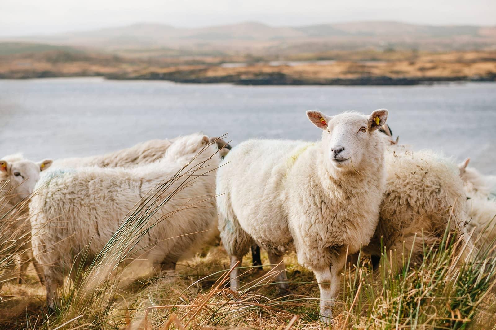 Sheep next to lake